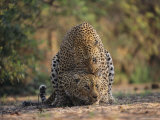 Leopards Mate Hundreds of Times during the Females Week-Long Estrus Photographic Print by Kim Wolhuter