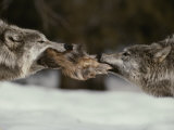 Two Gray Wolves Tussle for a Scrap of Elk Hide Photographic Print by Jim And Jamie Dutcher