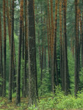 Woodland View in a Pine Forest Photographic Print by Klaus Nigge