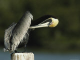 Preening Brown Pelican in the Everglades Photographic Print by Klaus Nigge