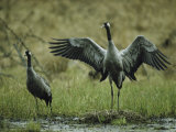 Pair of Common Cranes Standing at Their Nest Photographic Print by Klaus Nigge