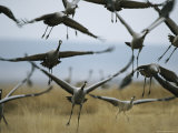 Common Cranes Taking Flight from a Grassy Field Photographic Print