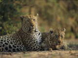 Two Full Grown Leopards Photographic Print by Kim Wolhuter