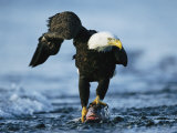 American Bald Eagle Clasps a Fish in its Talons Fotografisk tryk af Klaus Nigge