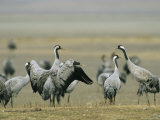 Common Cranes Flapping Wings and Standing About Photographic Print