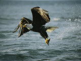 American Bald Eagle in Flight over Water with a Fish in its Talons Photographic Print by Klaus Nigge