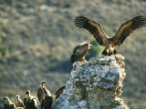 Griffon Vultures on a Rock Outcrop Photographic Print by Klaus Nigge
