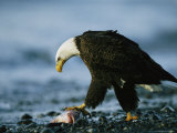 American Bald Eagle Stares Intently down at its Prey 写真プリント : クラウス・ニッゲ