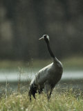 Common Crane in a Gentle Rain Shower Photographic Print by Klaus Nigge
