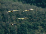 Griffon Vultures in Flight Photographic Print by Klaus Nigge