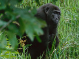 Western Gorilla Sitting in Tall Grass Photographic Print by Michael Nichols