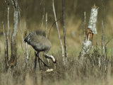 Common Crane Standing in her Nest Photographic Print by Klaus Nigge