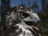 Close View of a Red-Tailed Hawk Photographic Print by George F. Herben