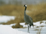 Common Crane Standing in a Snowy Landscape Photographic Print by Klaus Nigge