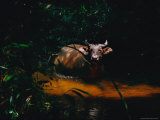Forest Buffalo Wading in a Stream Photographic Print by Michael Nichols