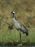 Portrait of a Common Crane Standing on her Nest Photographic Print by Klaus Nigge