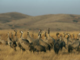 Common Cranes in a Grassy Hilly Landscape Photographic Print by Klaus Nigge