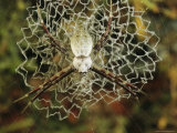 Silver Argiope Spider on its Doily-Like Web Photographic Print by Darlyne A. Murawski