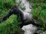 Silverback Western Gorilla Crossing a Stream Fotografisk tryk af Michael Nichols