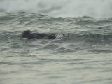 Hippopotamus Swimming in the Atlantic off of Gabons Coast Photographic Print by Michael Nichols