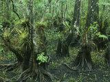 Air Plants Adorn the Trees in South Florida Fotografisk tryk af Klaus Nigge