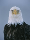 Close View of an American Bald Eagle Photographic Print by Paul Nicklen
