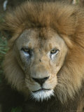 Portrait of a Male Lion Photographic Print by Taylor S. Kennedy