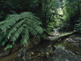 Woodland View with Lush Foliage and a Stream Photographic Print by Tim Laman