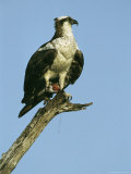 Osprey Perched on a Tree Branch Photographic Print by Klaus Nigge
