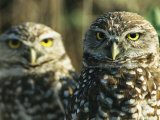 Pair of Burrowing Owls on Floridas Gulf Coast Photographic Print by Klaus Nigge