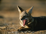 Yawning Desert Fox in the Coastal Region of Chiles Atacama Desert Photographic Print by Joel Sartore