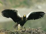 Stellers Sea Eagle Prepares to Take Off in Flight Fotografiskt tryck av Klaus Nigge