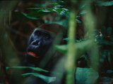 Close View of a Western Lowland Gorilla in Dense Foliage Photographic Print by Michael Nichols