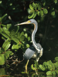 Tricolored Heron on Floridas Gulf Coast Photographic Print by Klaus Nigge