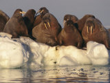 Atlantic Walruses on Pack Ice Photographic Print by Paul Nicklen
