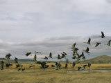 Flock of Common Cranes Taking Flight Photographic Print by Klaus Nigge