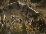 Gray Wolf Chews Part of a Deer Carcass Photographic Print by Jim And Jamie Dutcher