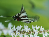 Zebra Swallowtail Butterfly Sips Nectar from a Flower Photographic Print by George Grall