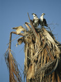 Pair of Ospreys Standing in Their Nest-In-Progress in a Treetop Photographie par Klaus Nigge