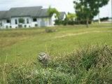 Burrowing Owl on Floridas Gulf Coast Photographic Print by Klaus Nigge