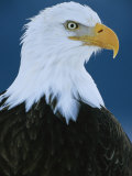 Portrait of an American Bald Eagle Fotografie-Druck von Klaus Nigge