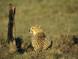 Cheetah on the Plains of Masai Mara Photographic Print by Bobby Model