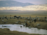 Flock of Common Cranes Resting in a Hilly Landscape Photographic Print by Klaus Nigge