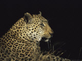 Close View of a Leopard at Night Photographic Print by Kim Wolhuter
