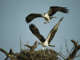 Osprey Landing in its Nest near its Partner Papier Photo par Klaus Nigge