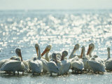 American White Pelicans on Floridas Gulf Coast Photographie par Klaus Nigge
