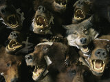 Heads of Grizzly Bears and Timber Wolves in a Taxidermists Studio Photographic Print by Joel Sartore