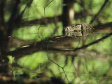 Non-Native Water Monitor Lizard Swimming Photographic Print by Tim Laman
