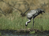 Common Crane Standing on her Nest Checking her Eggs Photographic Print
