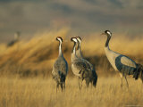 Common Cranes in a Grassy Landscape Photographic Print by Klaus Nigge